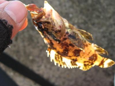 碧南海釣りカサゴ